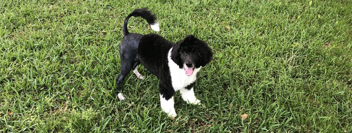 Palomine Portuguese Water Dogs